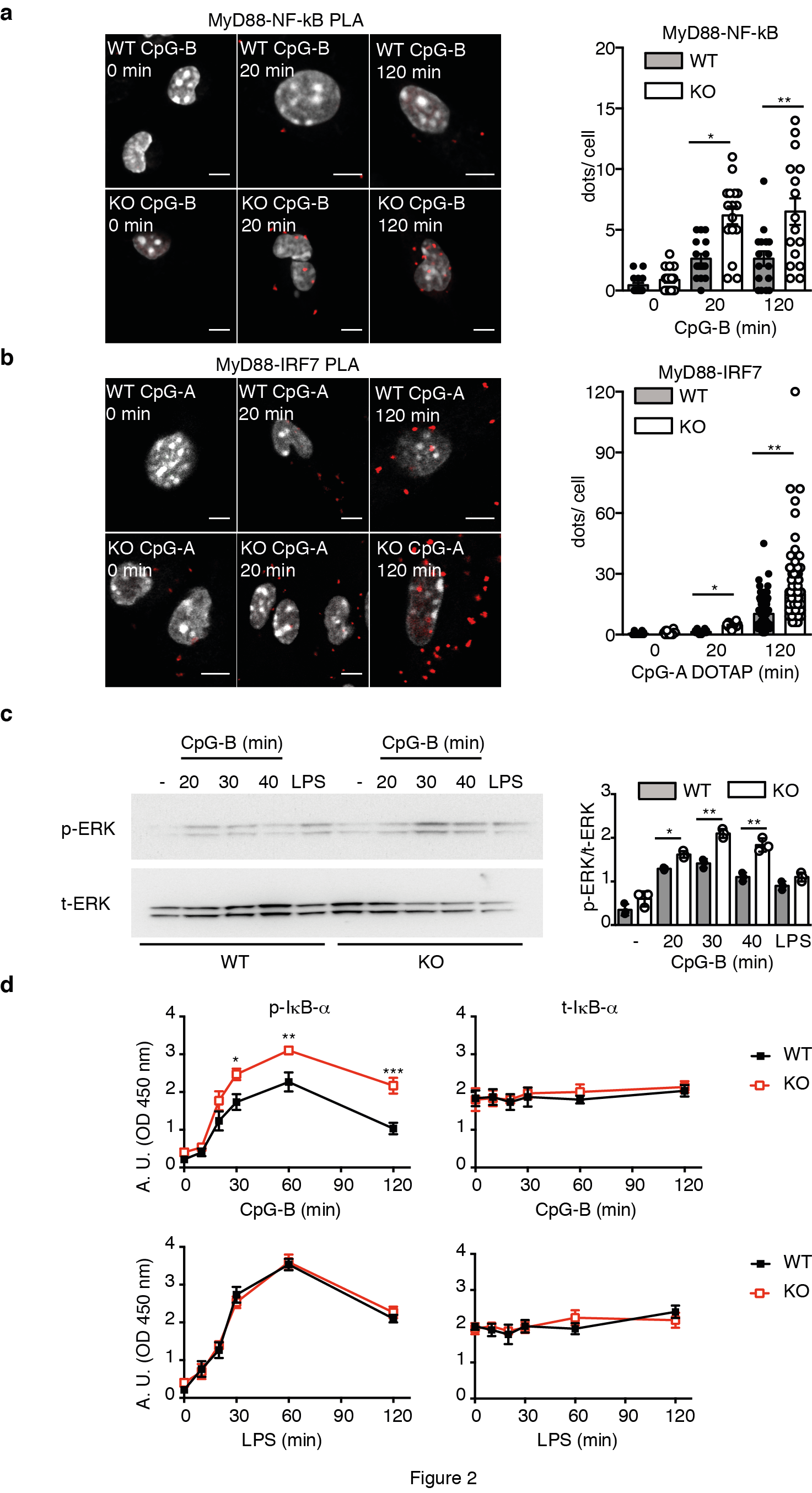 IRAP+ endosomes restrict TLR9 activation and signaling